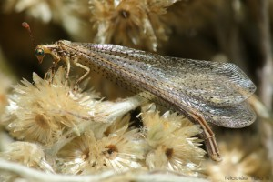 Hormiga Leon, adulto  (myrmeleodontidae)