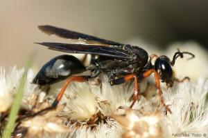Avispa (Sphecidae)