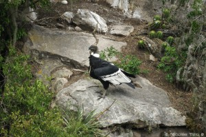 Condor Andino (Hembra)