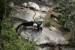 Condor Andino (Macho)