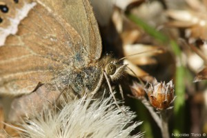 Dos puntos ocelada (Pampasatyrus)