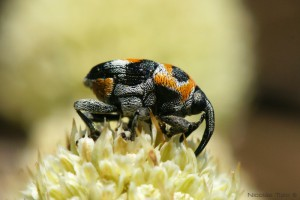 Gorgojo (Curculionoidea)
