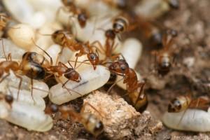 Hormigas (Formicidae)