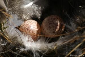 Chingolo (Huevos)