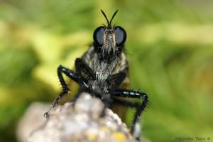 Mosca Cazadora (Asilidae)