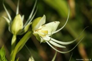 Orquidea (Habenaria)
