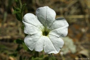 Petunia (axillaris)