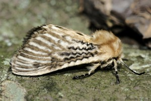 Polilla (Lepidoptera)