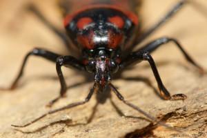 Reduvidae