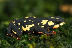Sapito de Colores (Melanophryniscus stelzneri)