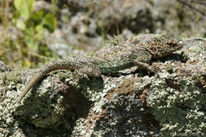 Sierra morena (Tropiduridae)