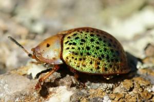 Tortuguita (Chrysomelidae)