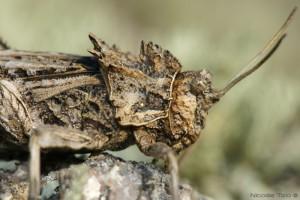 Tucura (Graea horrida)