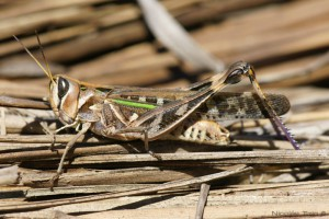 Tucura (Rhammatocerus pictus)