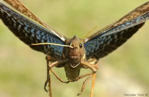 Tucura (Tropidacris collaris)