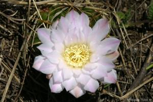 Asiento de Suegra (Gymnocalycium monville)