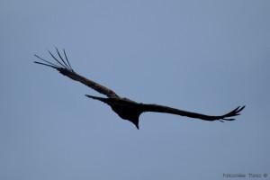 Condor Andino (Juvenil)