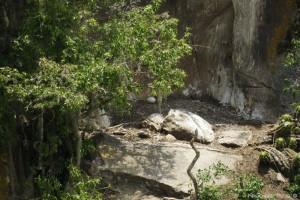 Condor Andino (Huevo)