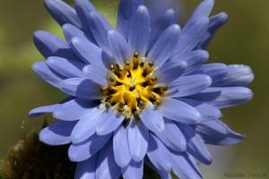 Escorzonera Perezia multiflora