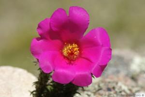 Flor de Seda portulaca (grandiflora)